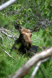 Baby moose resting Royalty Free Stock Images