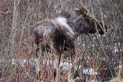 Baby moose seen along the road royalty free stock photography
