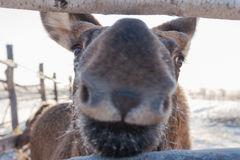 Baby moose snout Stock Images