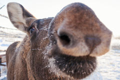Baby moose snout royalty free stock photos