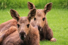 Baby Moose Royalty Free Stock Photography