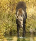 Baby moose in water. A baby moose in the fall eating plants from the water stock photography