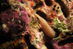Baby moray Eel Royalty Free Stock Photography