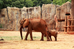 A baby and mother african elephant Stock Images
