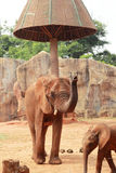 A baby and mother african elephant Stock Photography