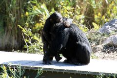 Baby and mother chimpanzee. Playing together stock images