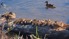 Baby and Mother ducks Stock Photos