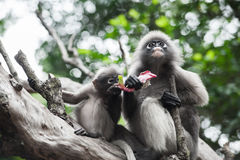 Baby and mother dusky leaf monkey. Eating fruit, Spectacled Langur in Thailand royalty free stock photography