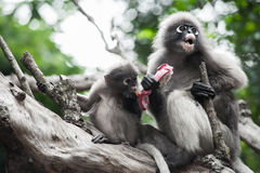 Baby and mother dusky leaf monkey. Eating fruit, Spectacled Langur in Thailand stock photography