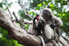 Baby and mother dusky leaf monkey. Eating fruit, Spectacled Langur in Thailand royalty free stock image