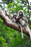 Baby and mother dusky leaf monkey. Eating fruit, Spectacled Langur in Thailand stock photo