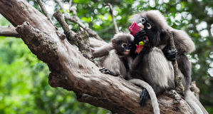 Baby and mother dusky leaf monkey. Eating fruit, Spectacled Langur in Thailand stock image