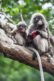 Baby and mother dusky leaf monkey. Eating fruit, Spectacled Langur in Thailand royalty free stock photos