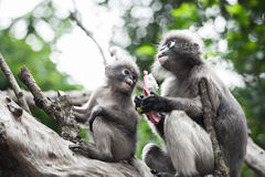 Baby and mother dusky leaf monkey. Eating fruit, Spectacled Langur in Thailand stock images