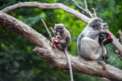 Baby and mother dusky leaf monkey. Eating fruit, Spectacled Langur in Thailand royalty free stock images