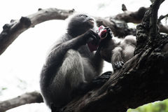 Baby and mother dusky leaf monkey. Spectacled Langur in Thailand royalty free stock images