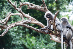 Baby and mother dusky leaf monkey. Dusky leaf monkey, Spectacled Langur in Thailand Stock Image