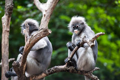 Baby and mother dusky leaf monkey. Dusky leaf monkey, Spectacled Langur in Thailand stock images