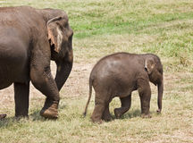 Baby and mother elephant. Royalty Free Stock Photography