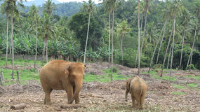 Baby and mother elephant. Baby and mother elephant, Sri Lanka Stock Images