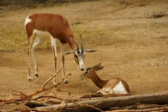 A baby and mother gazelle Royalty Free Stock Photo