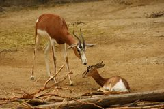 A baby and mother gazelle Royalty Free Stock Images