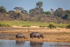 Baby and Mother Hippo Royalty Free Stock Photo