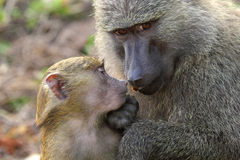 Baby and mother olive baboon (Papio Anubis) Royalty Free Stock Photo