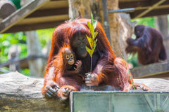 Baby and Mother orangutan Stock Photography