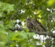 Baby & Mother Owl. Barred Owls - Mother and her Baby Royalty Free Stock Images
