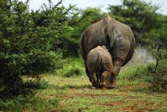 Baby and mother rhino. Mother and baby rihino from behind Royalty Free Stock Images