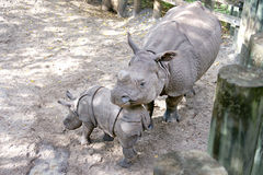 Baby & Mother Rhinoceros Stock Image
