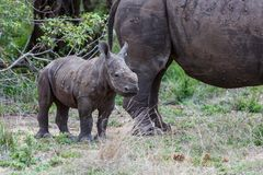 Baby and mother rhinoceros with oxpecker royalty free stock photography