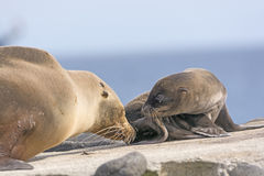 Baby and Mother Sea Lion on the Shore Royalty Free Stock Images