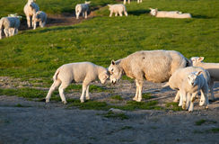 Baby and mother sheep love Royalty Free Stock Photography