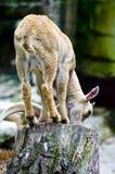 Baby mouflon Royalty-vrije Stock Foto's