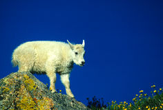 Baby Mountain Goat Stock Image