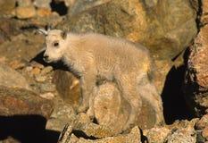 Baby Mountain Goat Royalty Free Stock Photos