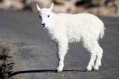 Baby Mountain Goat Stock Photos