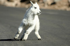 Baby Mountain Goat. A baby mountain goat quickly changes direction on the road leading to the summit of Mount Evans in Colorado. Mount Evans is the highest paved Stock Images
