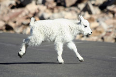 Baby Mountain Goat Royalty Free Stock Photos