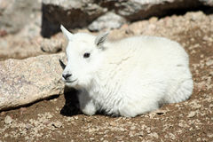Baby Mountain Goat Royalty Free Stock Photo