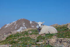 Baby Mountain Goat Bedded Royalty Free Stock Images