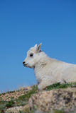Baby Mountain Goat Close up Royalty Free Stock Photo