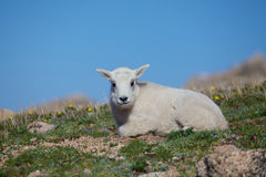 Baby Mountain Goat. A cute baby mountain goat bedded in the alpine Royalty Free Stock Images