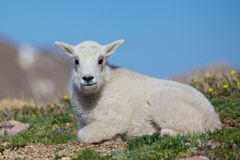 Baby Mountain Goat. A cute baby mountain goat bedded in the high alpine Stock Photos