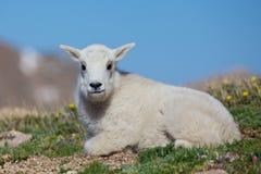 Baby Mountain Goat Stock Photos