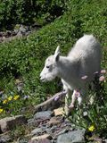 Baby Mountain Goat in Flowers. This image of the young mountain goat was taken from a trail on a hike in Glacier National Park Royalty Free Stock Photography