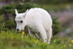 Baby Mountain Goat Grazing Stock Image