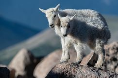 Baby Mountain Goat Lambs in the Rocky Mountains stock photography